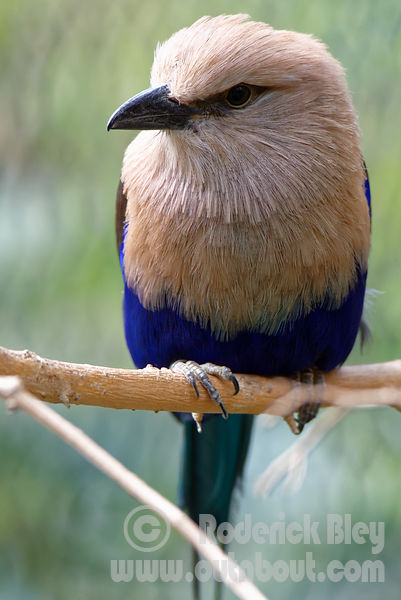 Blue Belled Roller Looking Right