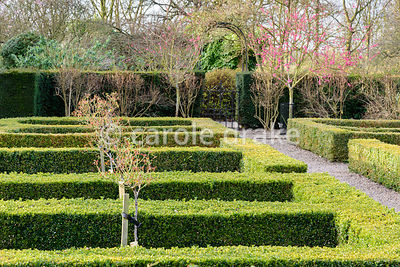 Box parterre with standard roses and pink blossom of Prunus mume 'Beni-chidori' at Hodsock Priory, Blyth, Notts