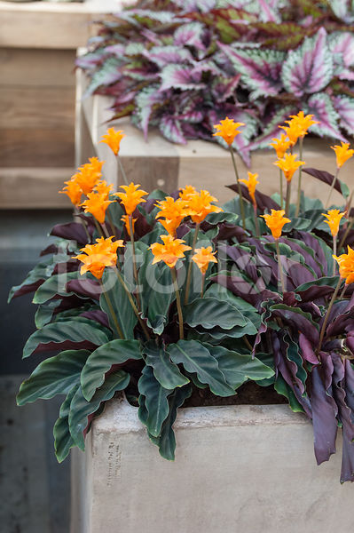 Calathea crocata, orange