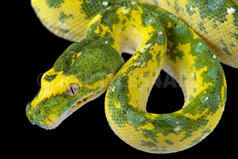 Northern green tree python (Morelia azurea)