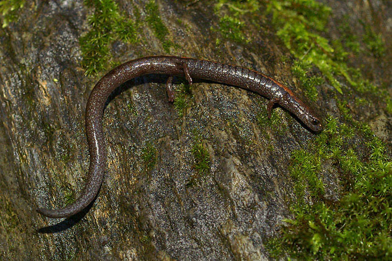 Batrachoseps diabolicus - Hell Hollow slender salamander ( Merced River area, in habitat of Hydromantes brunus)