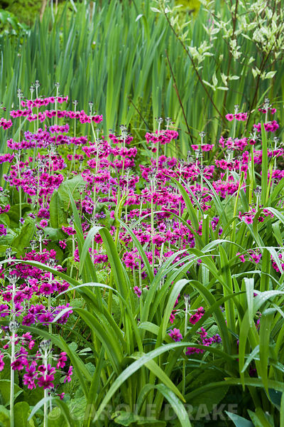 Magenta Primula pulverulenta. Windy Hall, Windermere, Cumbria, UK