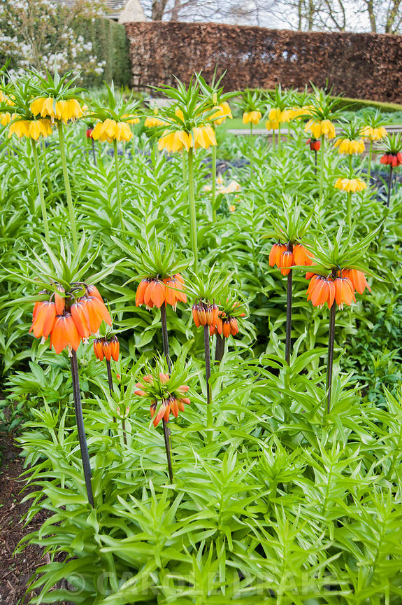 Crown imperials, Fritillaria imperialis, in the Canal Garden. York Gate Garden, Adel, Leeds, Yorkshire