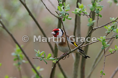 European Goldfinch (Carduelis carduelis) perching in a sallow (Salix sp) as the leaves open in spring, Foulshaw, Cumbria, Eng...
