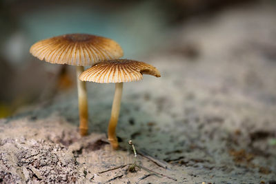 Mushroom on a silt-covered downed log, Tambopata River, Peruvian Amazon
