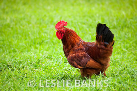 Rhode Island Red Rooster in the grass