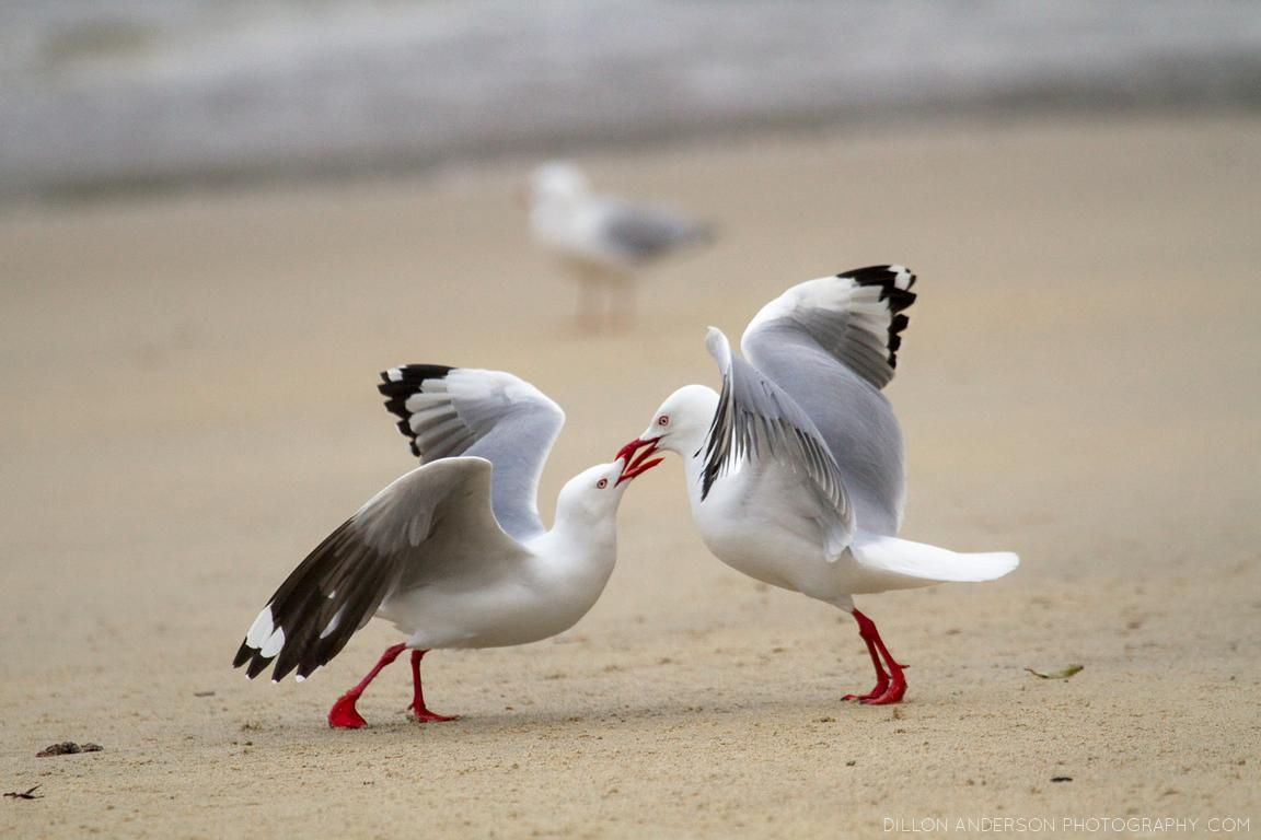 Red-billed seagulls (Chroicocephalus scopulinus) fight