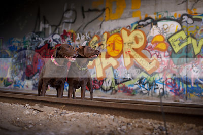 two brown lab dogs standing at train tracks with urban graffiti wall