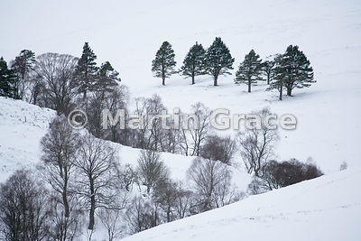 Silver Birch and Scots Pine in snow at An Gleannan above Alltnacriche, Badenoch & Strathspey, Scottish Highlands