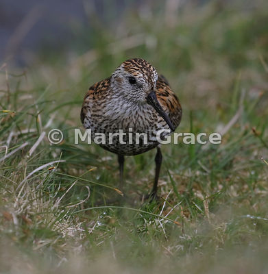 Dunlin (Calidris alpina), Hermaness National Nature Reserve, Unst, Shetland