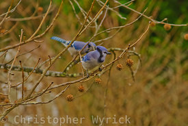 Pretty blue birds.  Image shot in the Smokies.  Nice detail.