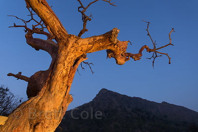 Old tree snag in pred-dawn light, illuminated by a passing tractor, Ajaypal, Rajasthan, India