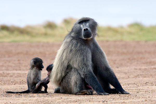 Alpha male and baby chacma baboons from the Smitwinkel troop on the side of the M4 near Gumshoes, Cape Peninsula, South Africa