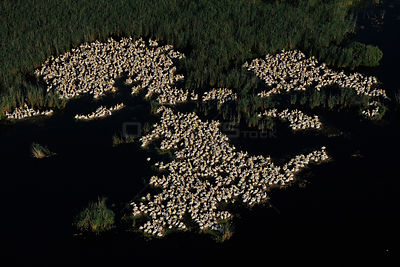 Eastern white pelicans (Pelecanus onocrotalus), aerial view of flock nesting on ground within Danube delta rewilding area, Ro...
