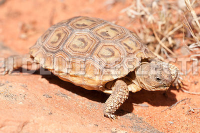 desert_tortoise_baby_rock_walking_10