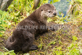river_otter_baby_cute-4