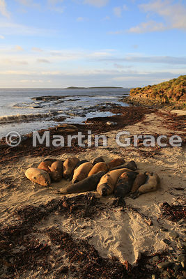 Southern Elephant Seals (Mirounga leonina) in early morning sunlight, Elephant Corner, Sea Lion Island, Falkland Islands