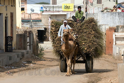 Camel cart carrying wood passing through Picholiya village, Rajasthan, India