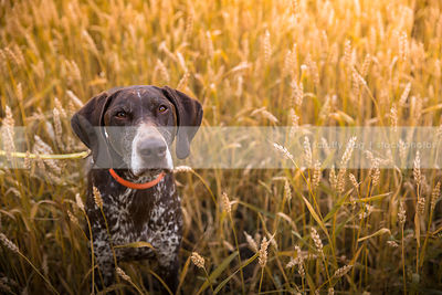 intense brown pointer gundog staring upward from wheat