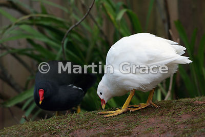 Two Common Moorhens (Gallinula chloropus) showing typical colouration in the bird on the left and white (leucistic) plumage i...