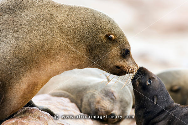 The Cape fur seal with pup (Arcocephalus pusillus pusillus) is endemic to Southern Africa. Cape Cross, Skeleton Coast, Namibia