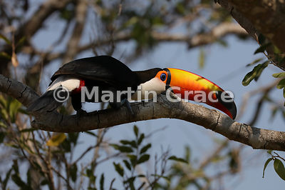 Toco Toucan (Common Toucan, Giant Toucan) (Ramphastos toco) flattening itself against a branch in response to a threat (a Sou...