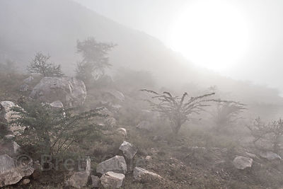 Early winter morning fog in desert woodlands, Pushkar, Rajasthan, India