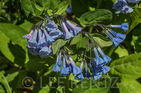 Virginia Bluebells at Great Serpent Mound