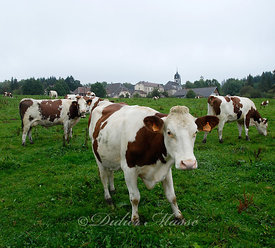 Vaches 1 Passonfontaine 1 Doubs 09/10