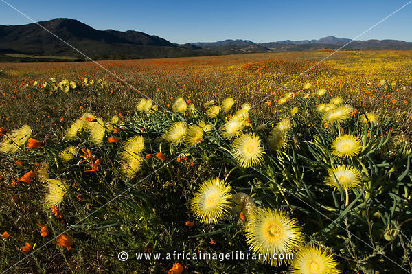 Conicosia elongata (Goslings), Spring flowers in Namaqua National Park, Namaqualand, South Africa