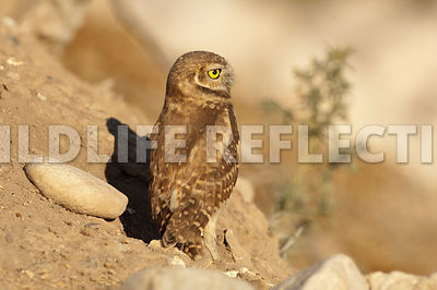 burrowing_owl_from_back
