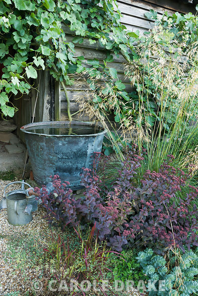 Large copper water butt beside Sedum 'Purple Emperor', Imperata cylindrica 'Rubra' (Japanese blood grass), Euphorbia myrsinit...