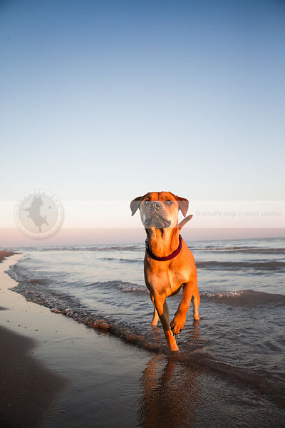 intense red cross breed dog standing pointing on lake shore beach