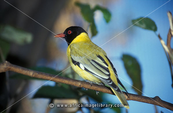 Eastern black-headed oriole, Oriolus larvatus, Zimbabwe