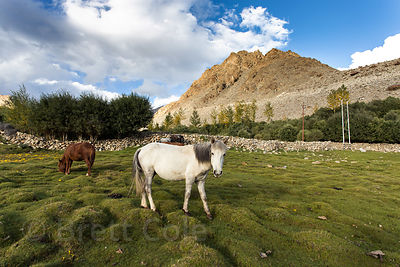Horse grazing on a mossy field in Yurtung, Leh, Ladakh, India