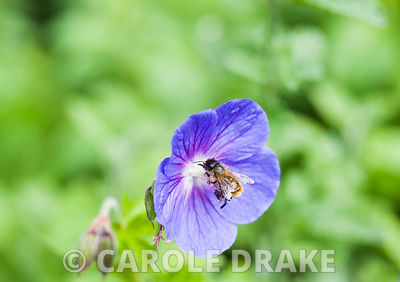 Bee on a hardy geranium flower.