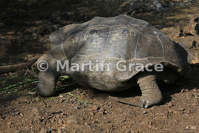 Wild San Cristobal Giant Tortoise (Geochelone elephantopus chatamensis) showing the pattern of plates on its carapace, San Cr...