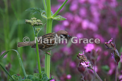 Eurasian Tree Sparrow (Passer montanus) with a beak full of insects, perching on Hogweed ((Heracleum sphondylium) with Red Ca...