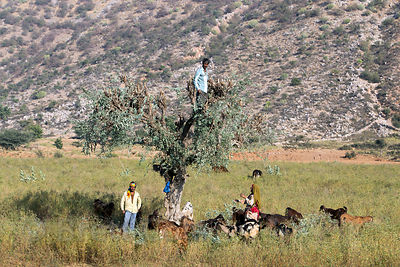 Farmers cut branches from an acacia tree in the Thar Desert to be used for goat fodder, near Kharekhari Village, Pushkar, Raj...