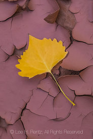 Fallen Autumn Cottonwood Leaf Below Moon House Ruin