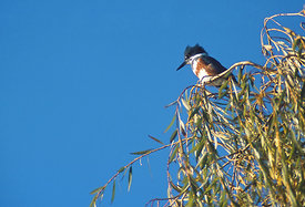 September - Belted Kingfisher