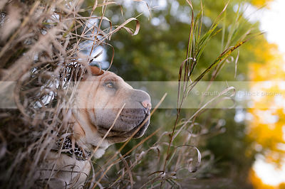 wrinkled tan sharpei dog in long dried grasses