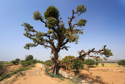 Massive ancient tree (sp.) near remote Kesarpura village, Rajasthan, India. This is the largest non-fig tree I have ever seen...