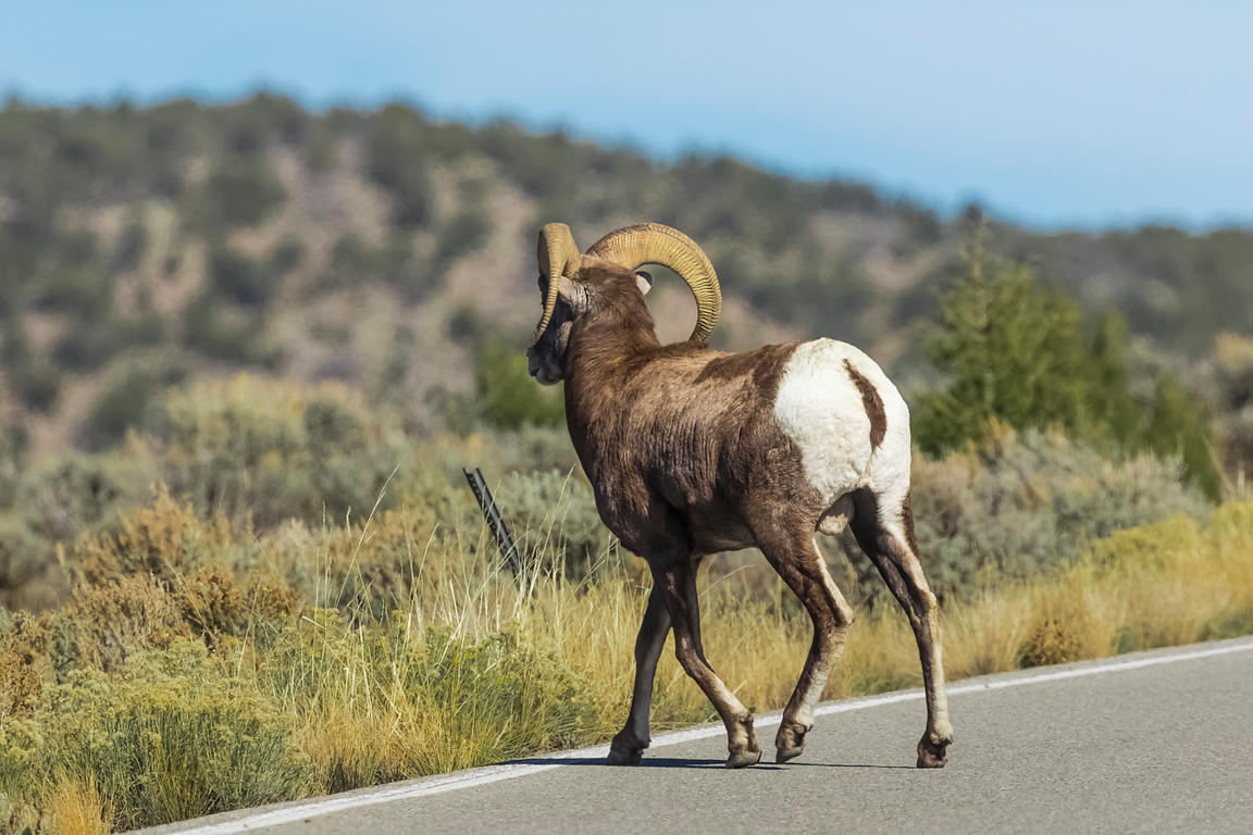 Desert Bighorn Sheep in Wild Rivers Area of Rio Grande del Norte National Monument