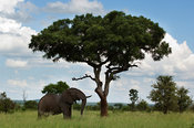 African elephant under a Marula tree (Loxodonta africana africana), Kruger National Park, South Africa