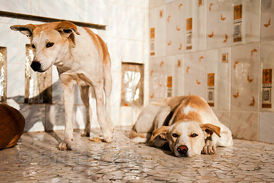 Dogs sleeping atop a sun-drenched marble temple at sunrise, Jodhpur, Rajasthan, India