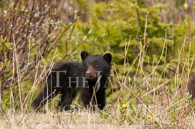 Black Bear Cub In Dandelion