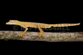 Lined Flat-tail Gecko (Uroplatus lineatus)