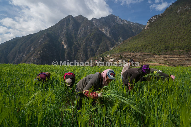 Old ways prevail in Yunnan mountain communities such as Yalang, where women still tend their barley fields by hand. Barley is...