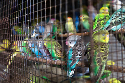 Songbirds for sale at Crawford Market, Mumbai, India. The pet trade in Mumbai is a dismal affair.